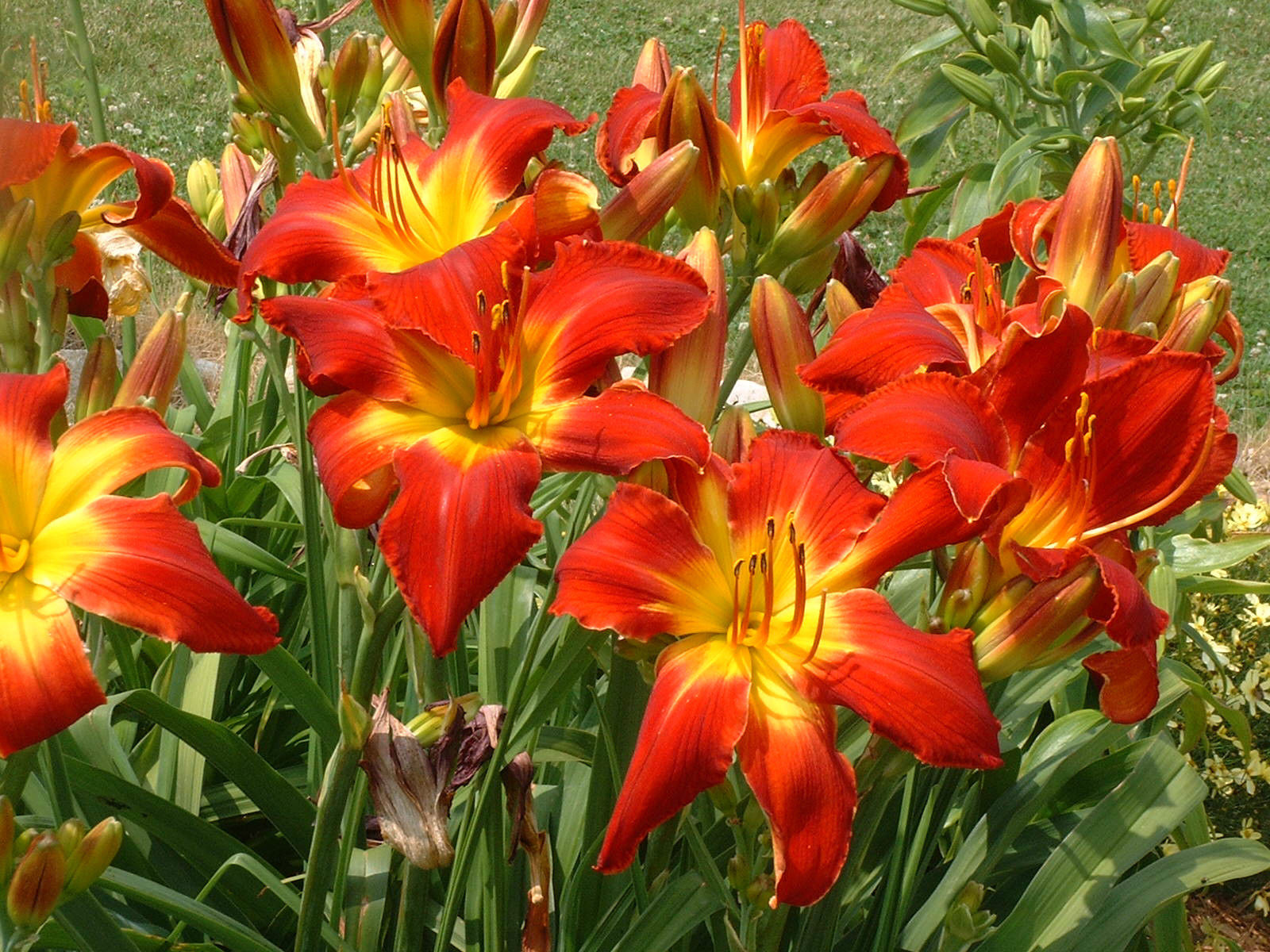 Daylily forever